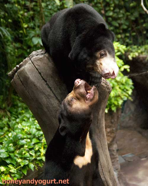 のいち動物公園 マレーグマ タオチイ ハニイ