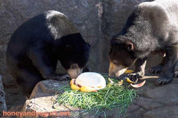 上野動物園 マレーグマ フジ モモコ