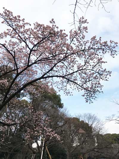 上野公園 寒桜