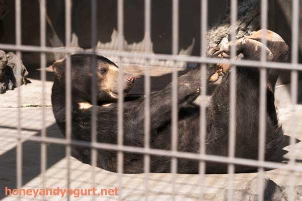 遊亀公園附属動物園 マレーグマ サクラ