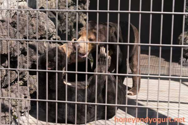 遊亀公園附属動物園 マレーグマ サンディ サクラ