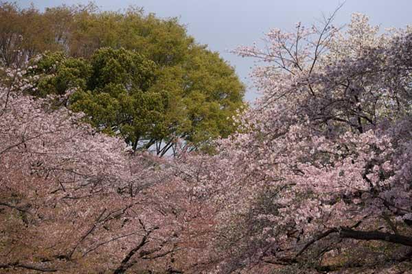 上野公園桜並木