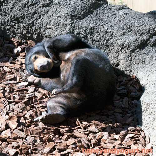 上野動物園 マレーグマ モモコ