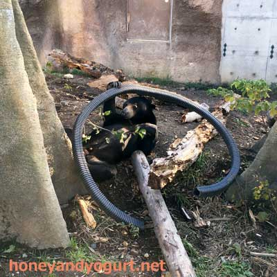 円山動物園 マレーグマ ウメキチ